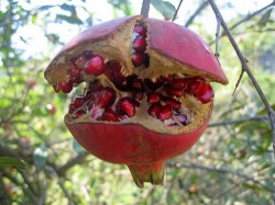 Granatapfel sauber entkernen