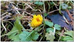 Der Huflattich - Ein Frühlingsbote
