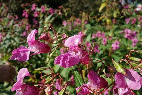 Neophyten – Pflanzen aus der Ferne